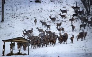 hjortar i snö