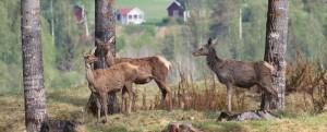 Hjortar på nipkant